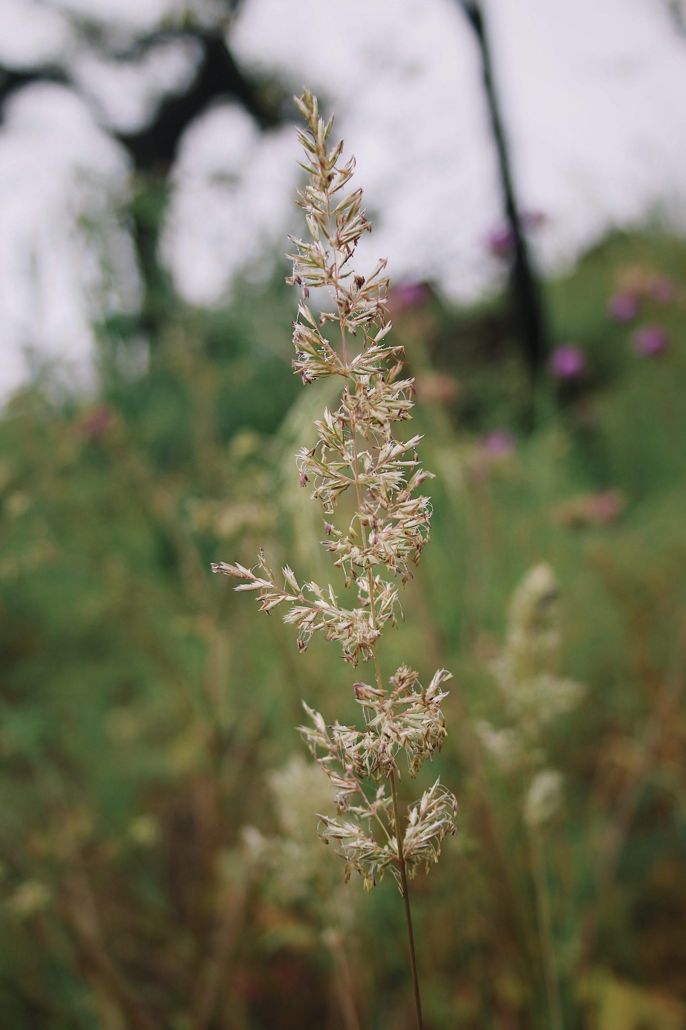 Prairie Junegrass