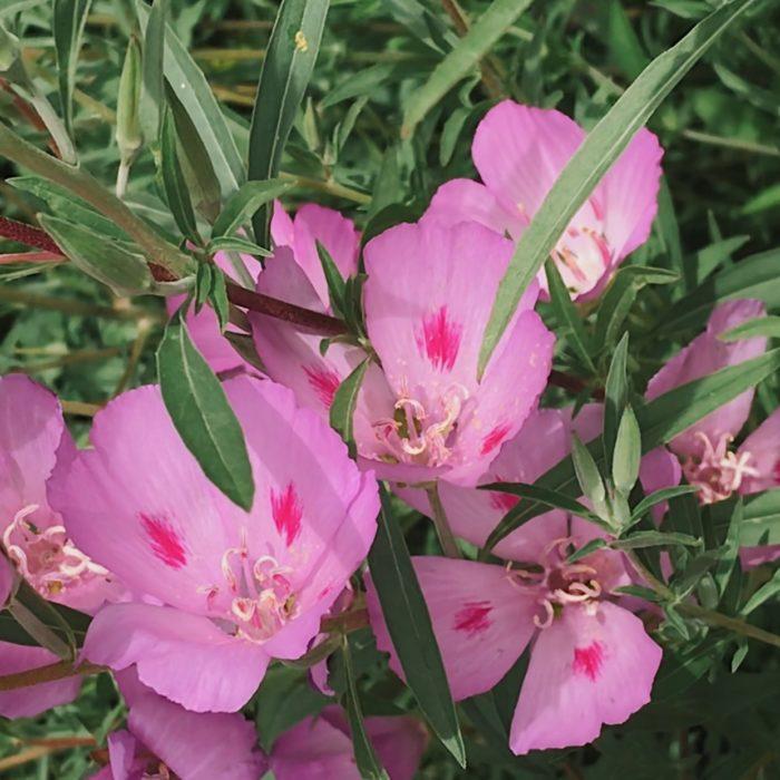 Clarkia amoena lindleyi