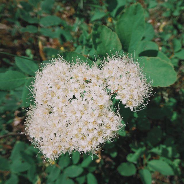 Spiraea betulifolia ssp. lucida