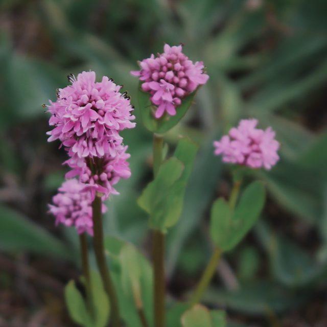 Rosy plectritis