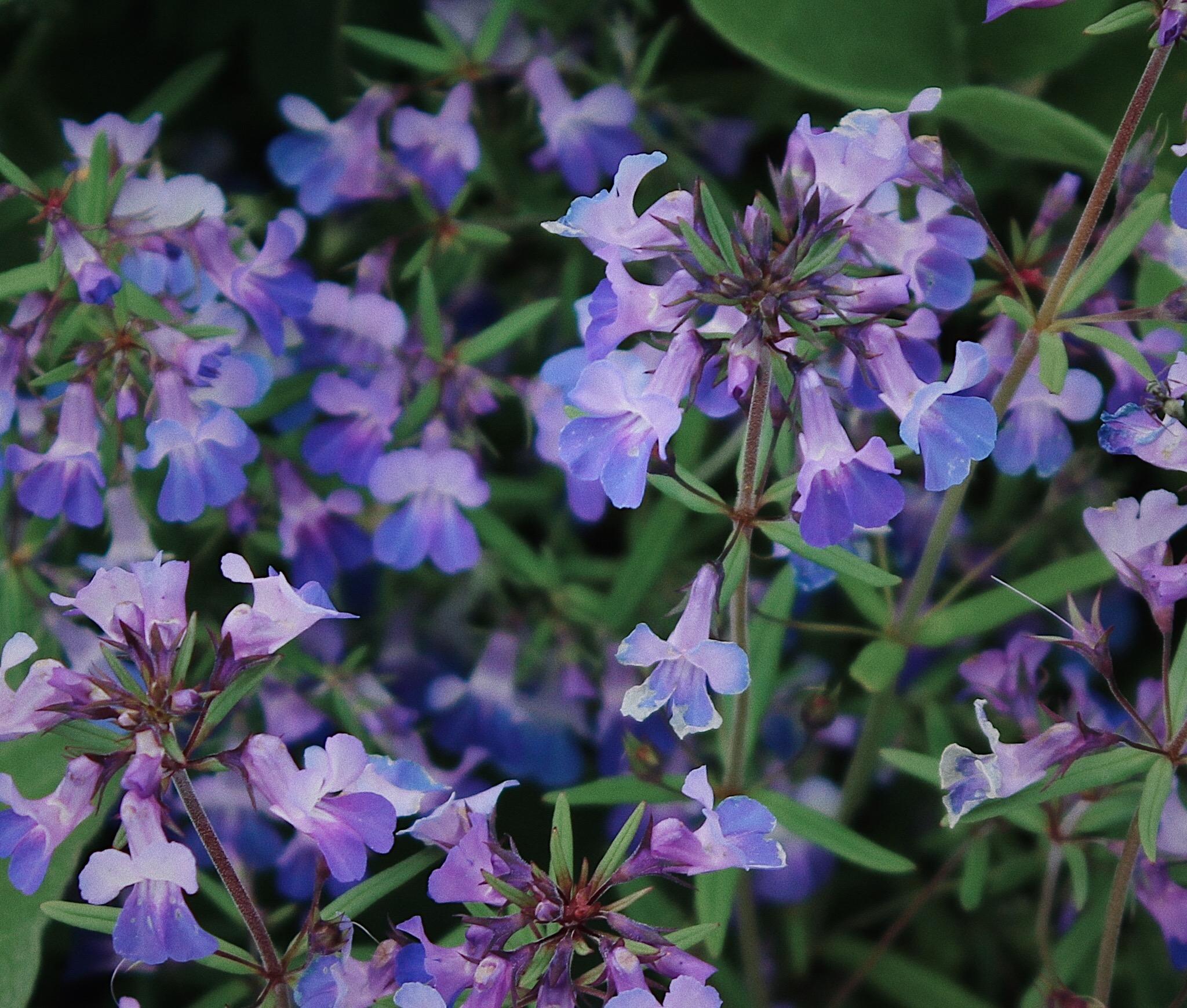 Collinsia grandiflora