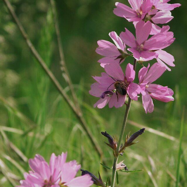 Sidalcea malviflora virgata